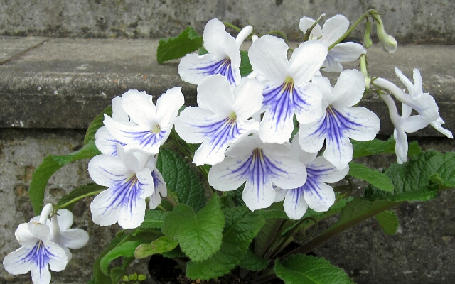 "Streptocarpus ""Gwen"" on the front steps of 12 Saville Row.  6 May 2011."