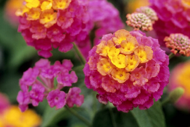 Lantana camara 'Sunrise Rose' - 6224-13